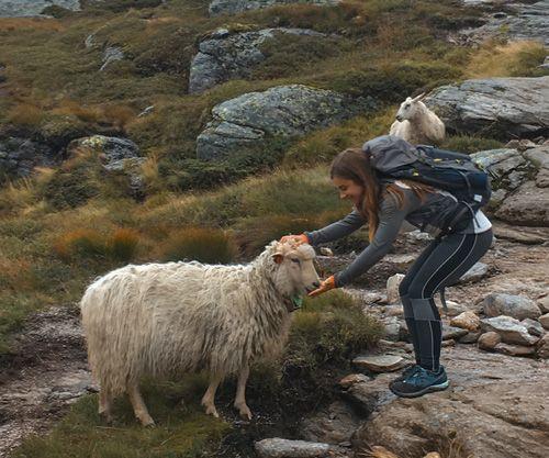Alimentando ovejas en el parking de Kjerag